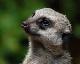 Meerkat avatar