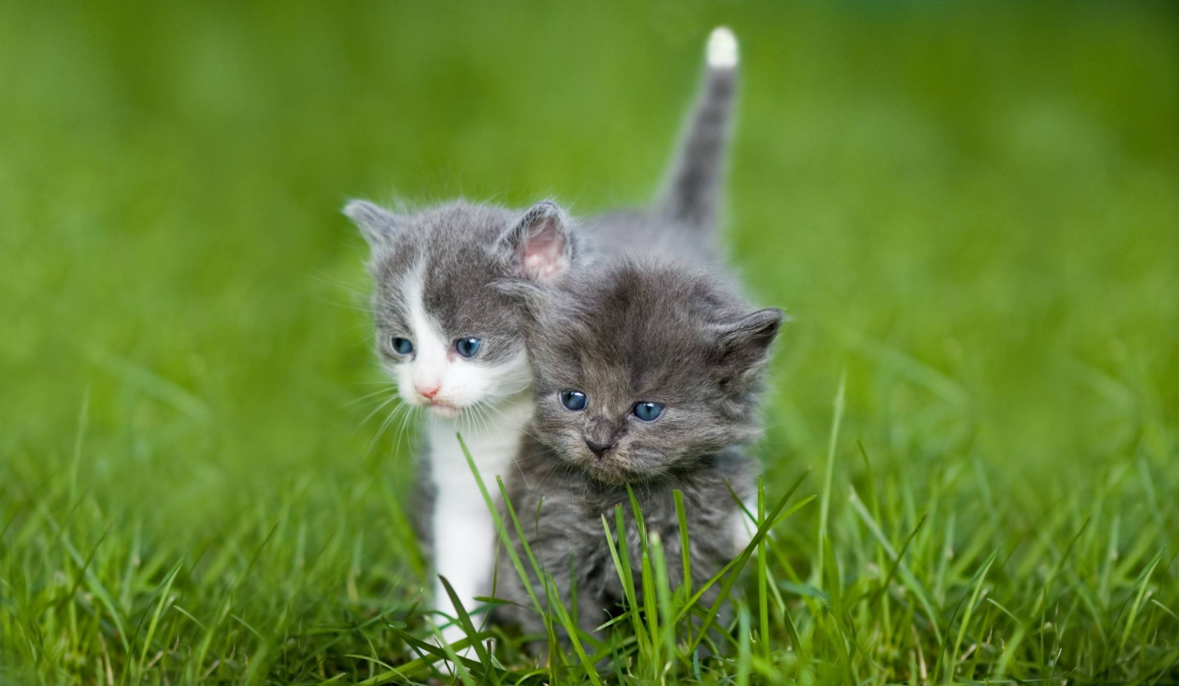 A white-and-gray kitten and a gray kitten stand very close, so it looks like they might be splitting apart.